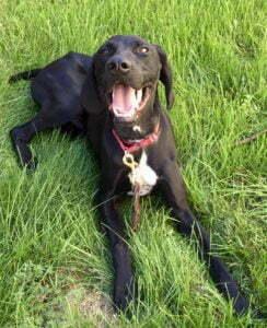 English Pointer, Michigan Dog Training, Bed Bug Detection Dog, Plymouth, Michigan