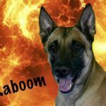 Michigan Dog Training, Kaboom, Belgian Malinois, Plymouth, Michigan
