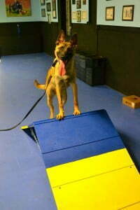 Michigan Dog Training, Circus dog, trick dog, Belgian Malinois