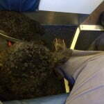 Diabetic alert dog, service dog, dog on plane