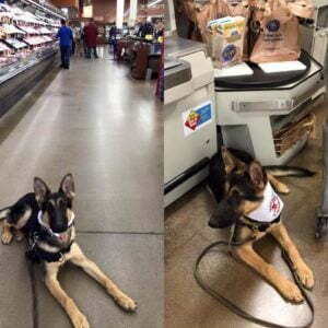 Service Dog, Mobility Service Dog, Michigan Dog Training, German Shepherd, Plymouth, Michigan