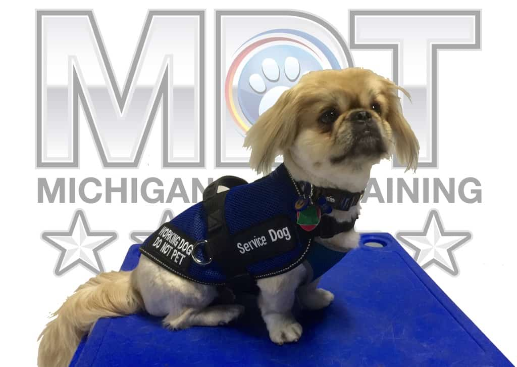Service Dog, PTSD, PTSD Service Dog, Michigan Dog Training, Plymouth, Michigan