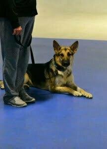 Michigan Dog Training, Plymouth, Michigan, Canine Good Citize, CGC, German Shepherd