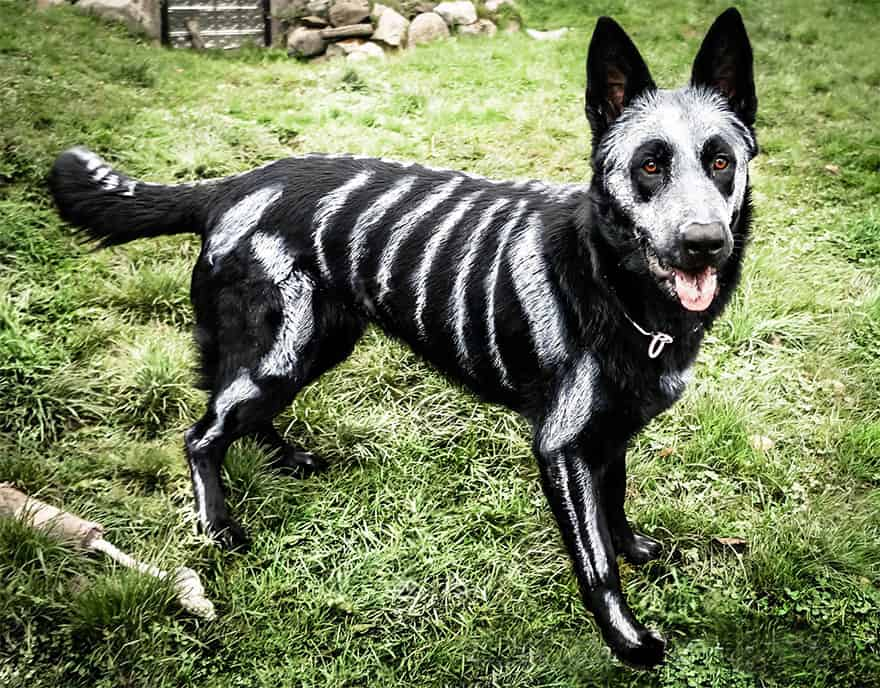 Awesome halloween dog costumes so spooky so cool make sure to use safe non toxic dog paints on your dog like this owner did solutioingenieria Choice Image