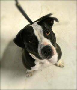 Pitt Bull, Michigan Dog Training, Plymouth Michigan