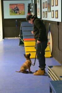 Belgian Malinois puppy, puppy classes, Erica Hensley, Michigan Dog Training