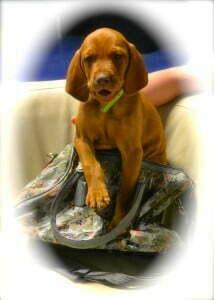 Vizsla new puppy at Michigan Dog Training