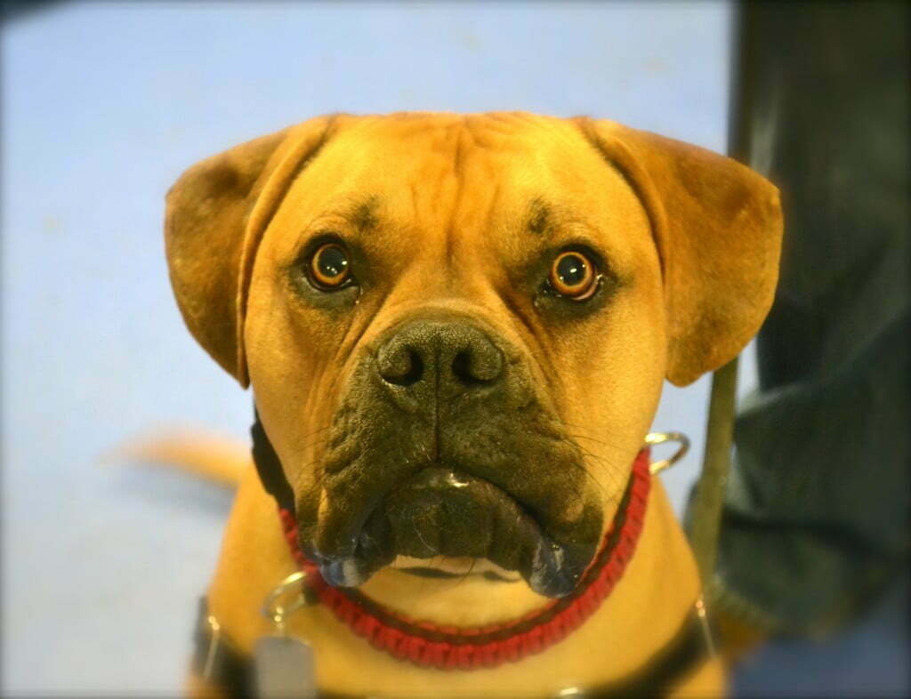 Bullmastiff, CGC, Canine Good Citizen, Michigan Dog Training, Plymouth, Michigan