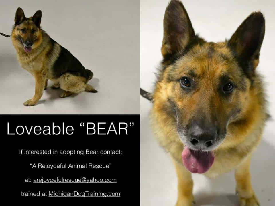 www.michigandogtraining.com,  rescued German Shepherd Dog, Michigan Dog Training, Plymouth, Michigan