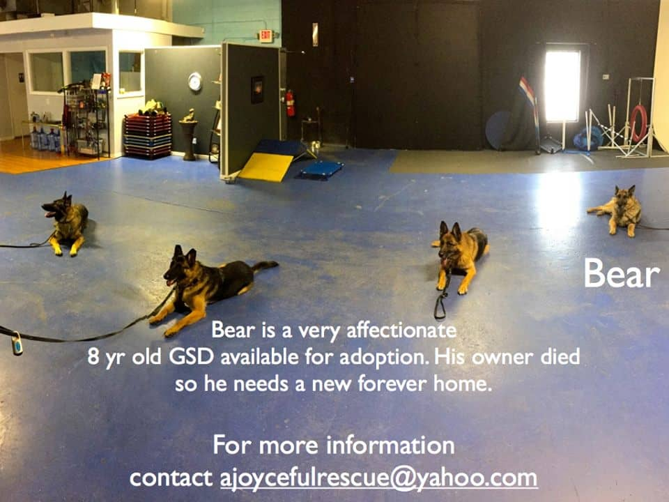 Michigan Dog Training, German Shepherd Dogs, Plymouth, Michigan