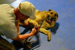 rescued German Shepherd Dog, Michigan Dog Training, Plymouth, Michigan