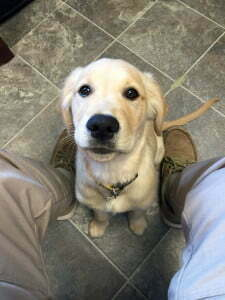 Golden Retriever, puppy, pup, puppy training, Michigan Dog Training, Plymouth, Michigan