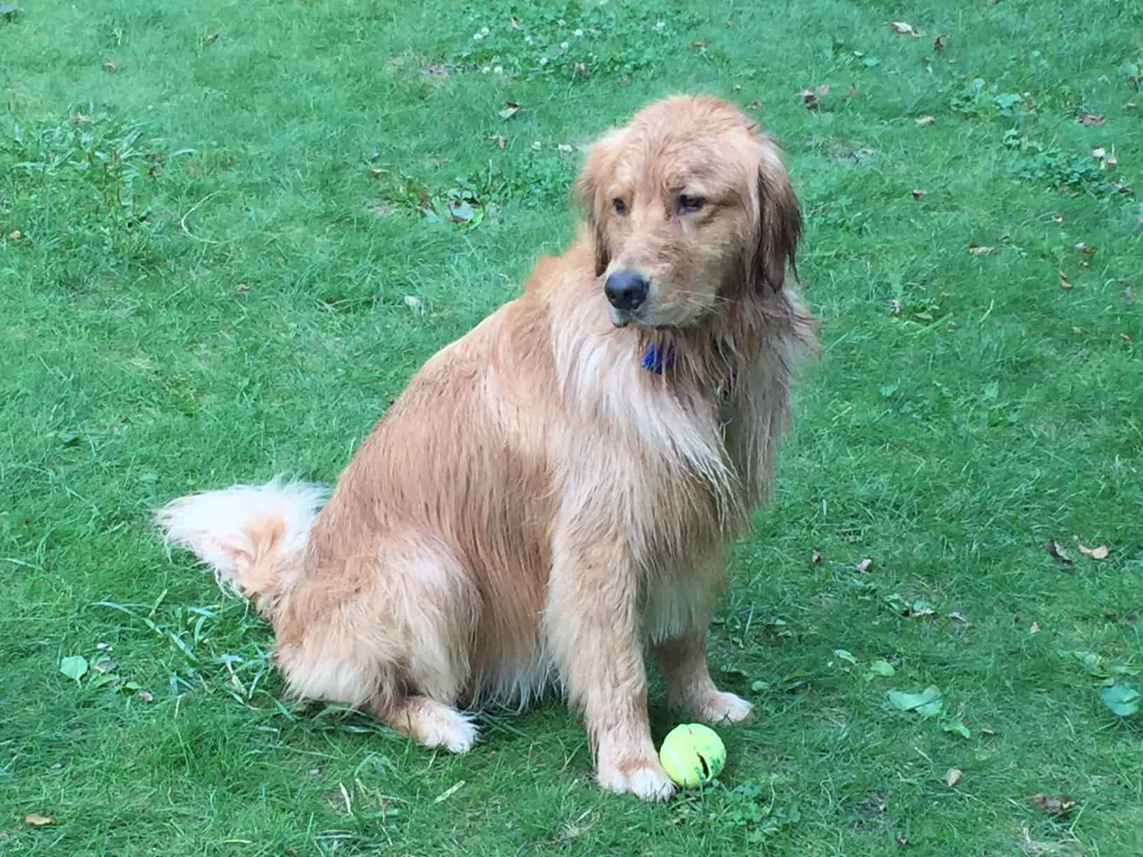 Golden Retriever Dogs For Adoption In Michigan