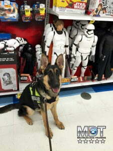 Michigan Dog Training, Service Dog, Service Dog in Training, Mobility Assistance Dog, Plymouth, Michigan