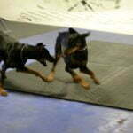 Michigan Dog Training, Doberman, Doberman Pinscher, Doberman Pinschers, dog training, dog obedience, Canine Good Citizen