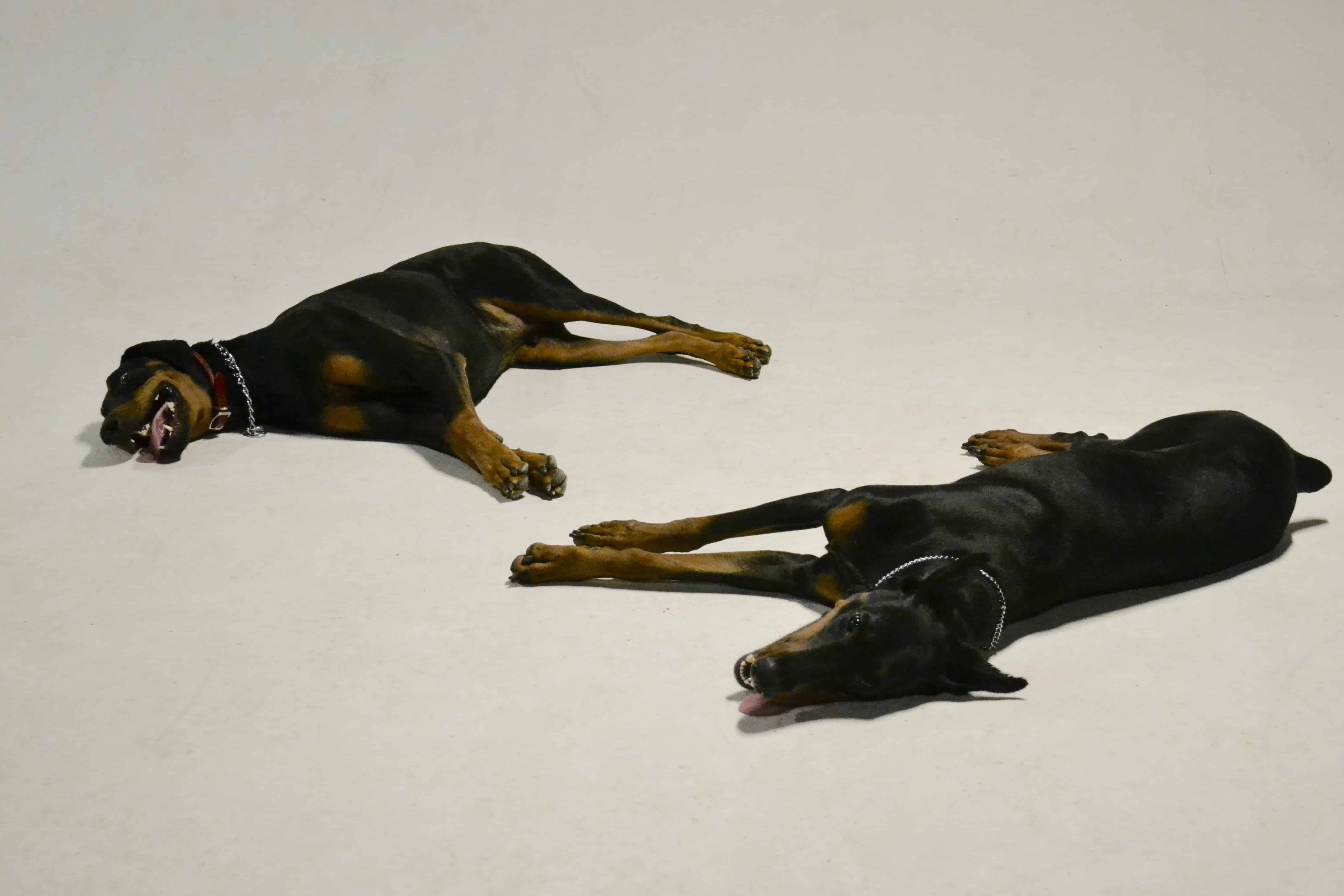 Doberman Gang of Detroit   Michigan Dog Training