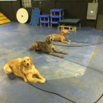 Michigan Dog Training, Advanced Canine Good Citizen, Plymouth, Michigan
