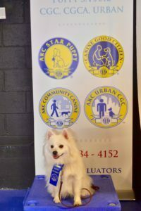 Michigan Dog Training, Plymouth, Michigan, American Eskimo, Canine Good Citizen, CGC