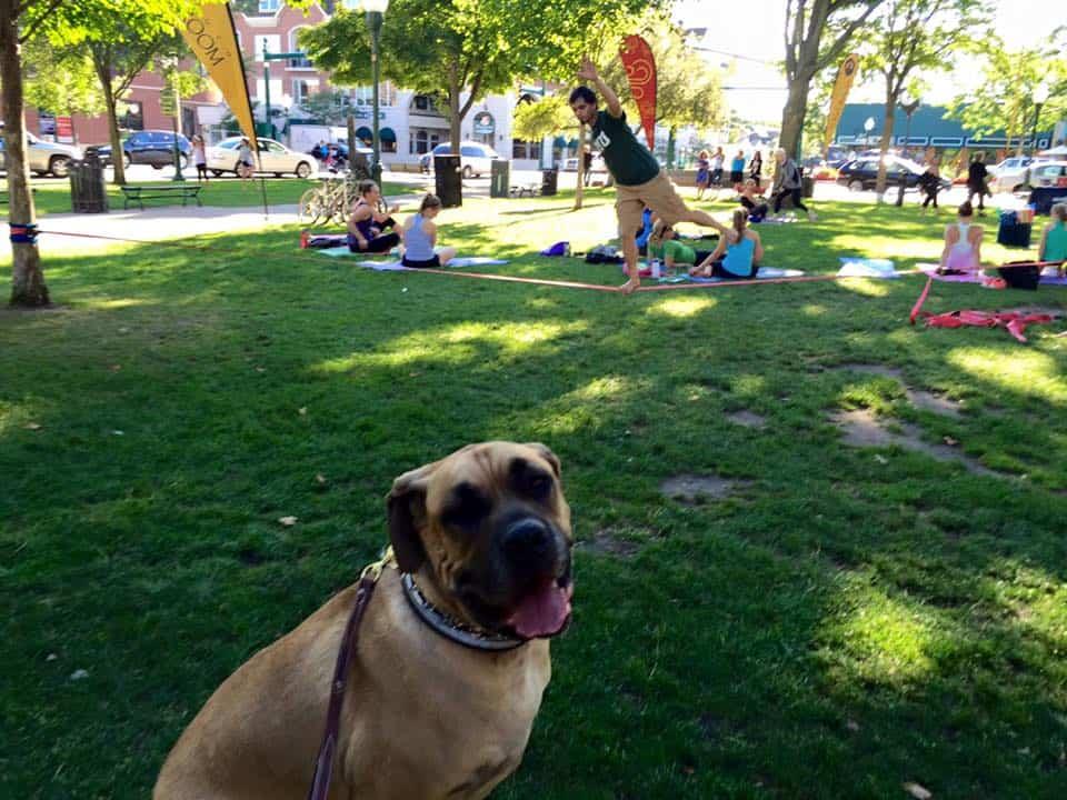 Michigan Dog Training, Mastiff, Day Training