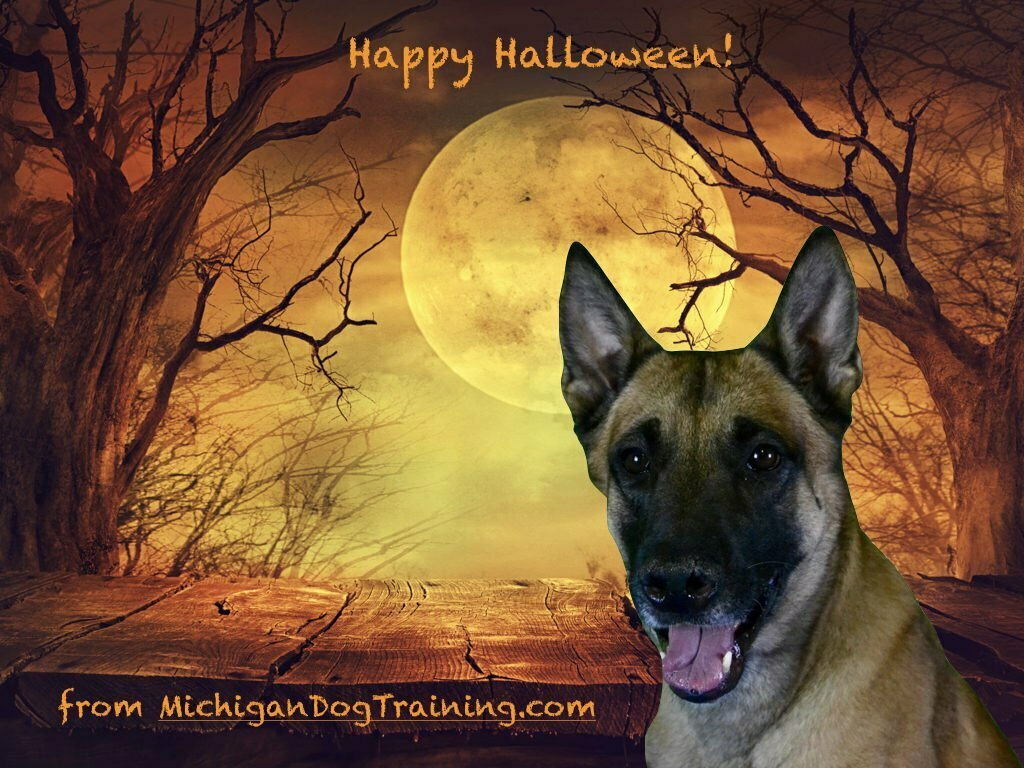 Michigan Dog Training, Belgian Malinois, Kaboom, Happy Halloween
