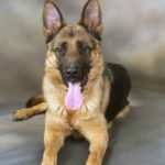 German Shepherd Dog, Michigan Dog Training